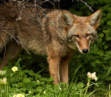 Coyote Urine as a Natural Pest Control Alternative