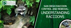 San Diego Raccoon Control And Removal Understanding Raccoons