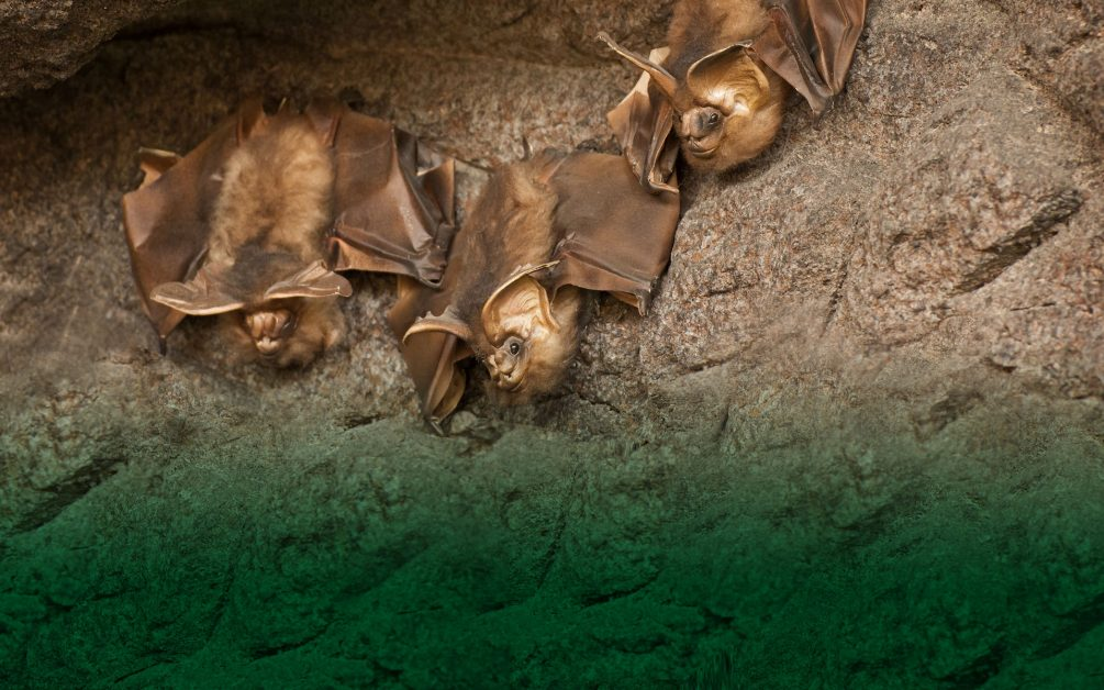 bat removal wildlife removal services san diego