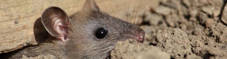 Rodent Control - Critter Catcher Orange County   Wildlife