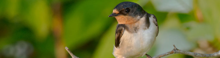 cliff swallow removal wildlife removal services san diego