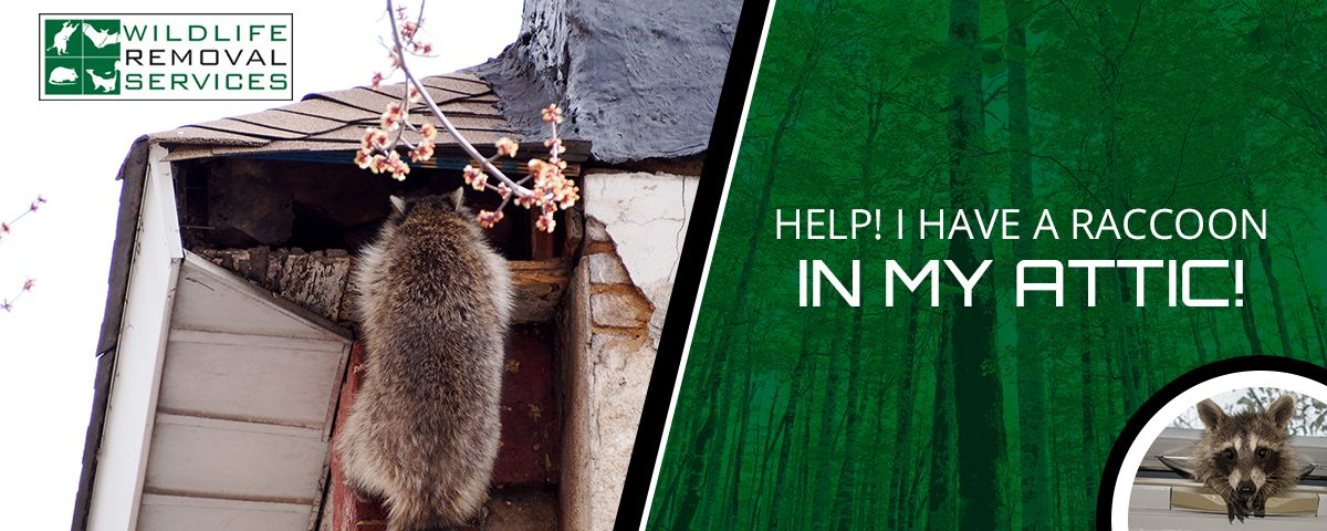Help I have a raccoon in my attic