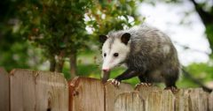 possum control wildlife removal services san diego