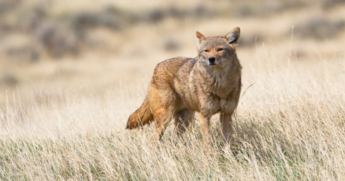 coyote control wildlife removal services san diego