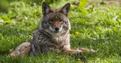 coyote roller wildlife removal services san diego