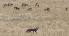 coyote removal services wildlife removal services