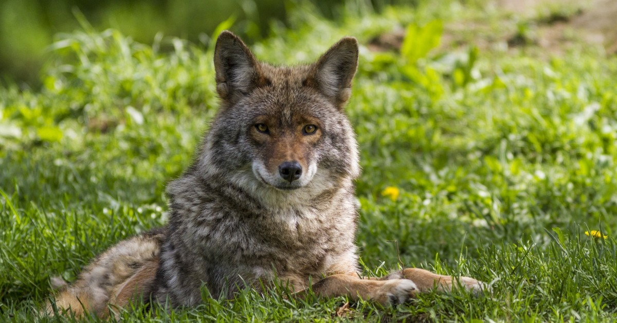 Top 5 Myths About Coyotes featured image