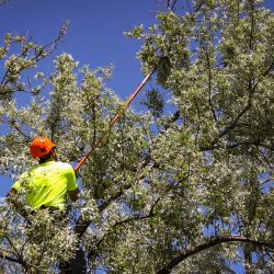 Using Lopper Extension to Cut High Tree Branches