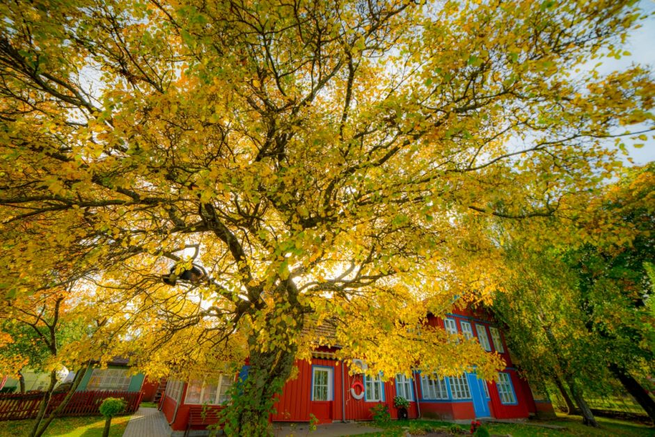 Large Tree With Yellow Fall Leaves