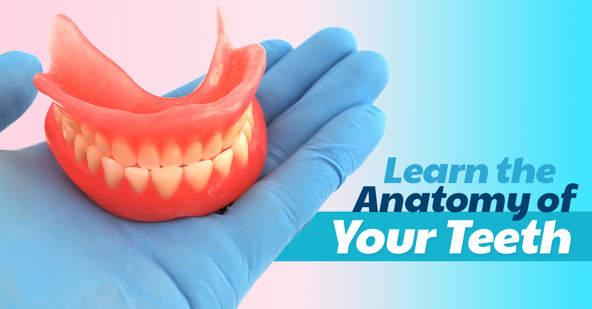 Dentist Seattle: Learn the Anatomy of Your Teeth