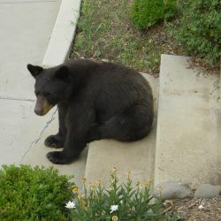 Bear On Steps
