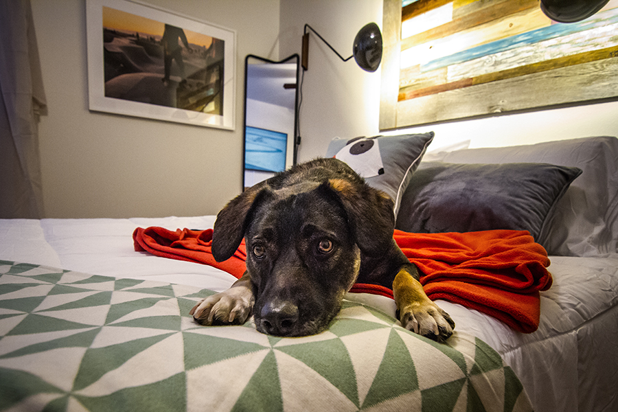 A dog resting on the bed at a pet-friendly apartment - Gateway Place Apartments