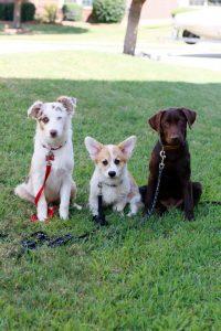 Premier Puppy Raising Program | Texas K-9 Academy