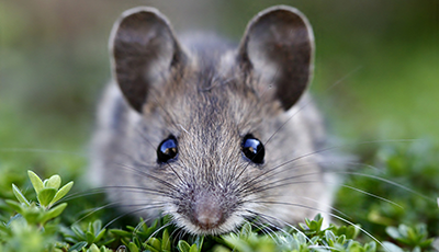 Rodent Control - Attic Clean-outs and Trapping - Gopher and