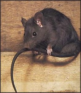If Roof Rats Have Made Their Way Into Your Attic, Call Us To Schedule An  Appointment For A Roof Rat Inspection. Our Skilled Technicians Can Find All  Entry ...