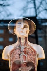An image of an anatomical model of the human body.