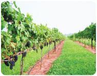 vineyard_03
