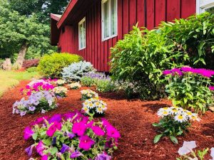 The yard in front of a red barn: green shrubs, pink and purple flower beds, and wooden mulch.