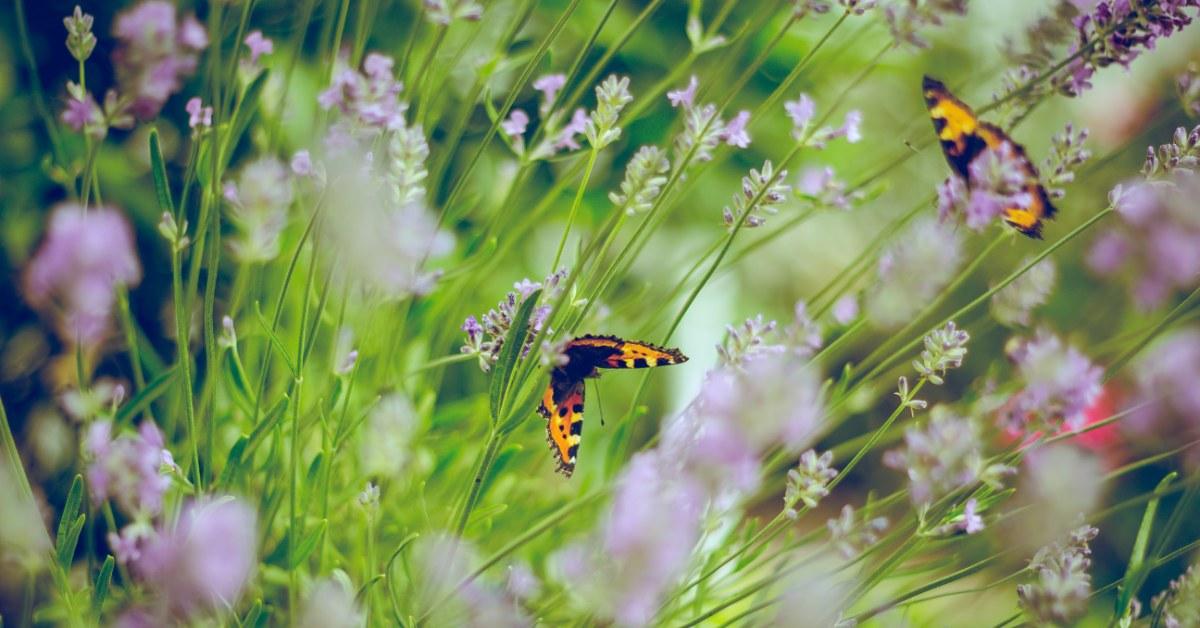 Butterflies and purple flowers in a garden.