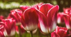 A close-up of bright pink and white tulips in bloom.