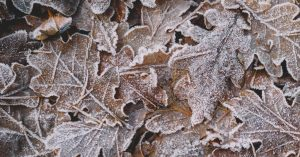 fallen brown leaves with frost