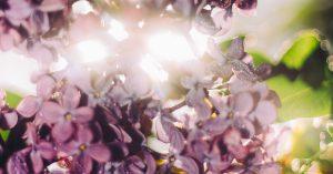 bush of purple flowers in the sunlight