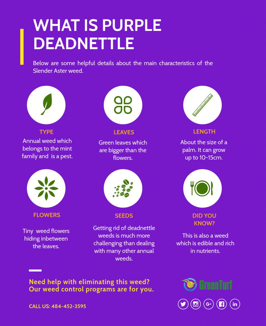 what is purple deadnettle