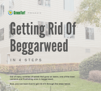 Beggarweed