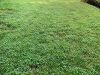 japanese stiltgrass main
