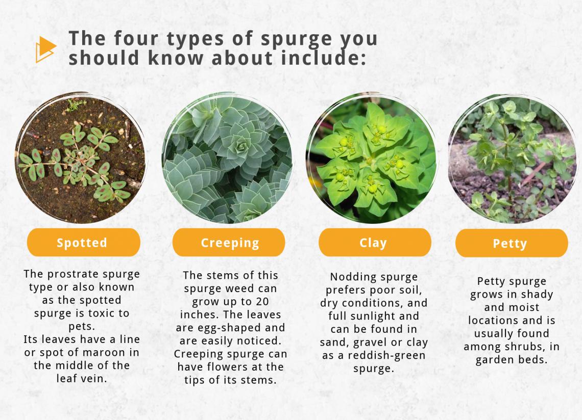 types of spurge