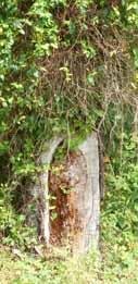 Vines-covering-cavity-smaller