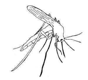 mosquito-300x274