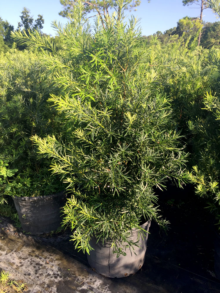 30 gal Podocarpus Was $135.00 Now $105.00