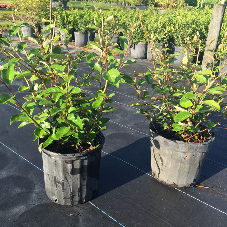 3 gal Elaeagnus Was $5.95 Now $4.25