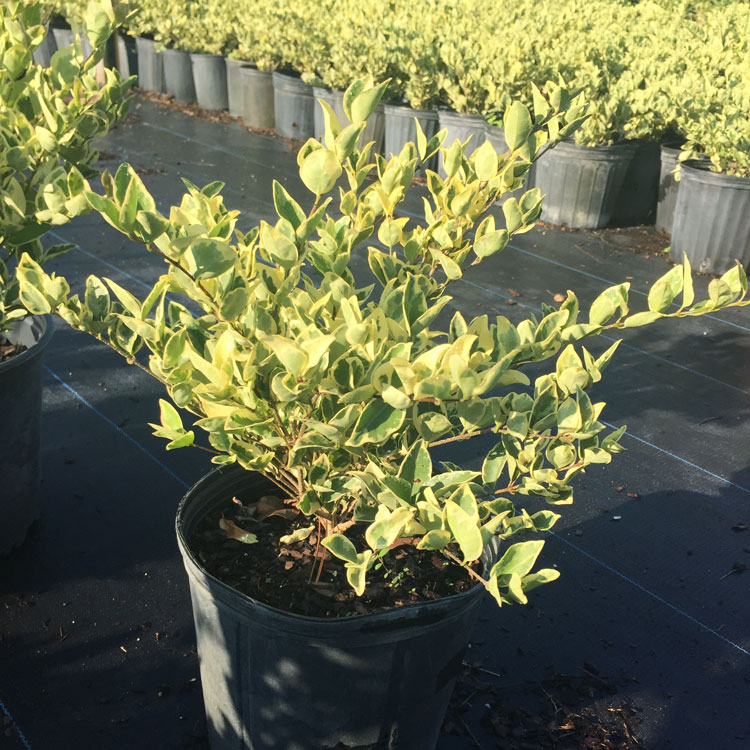 3 gal Jack Frost Ligustrum Was $5.50 Now $4.35