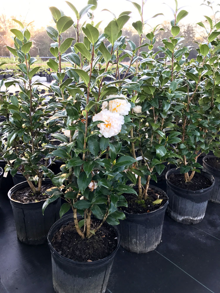 3g-camellia-brushfields-yellow