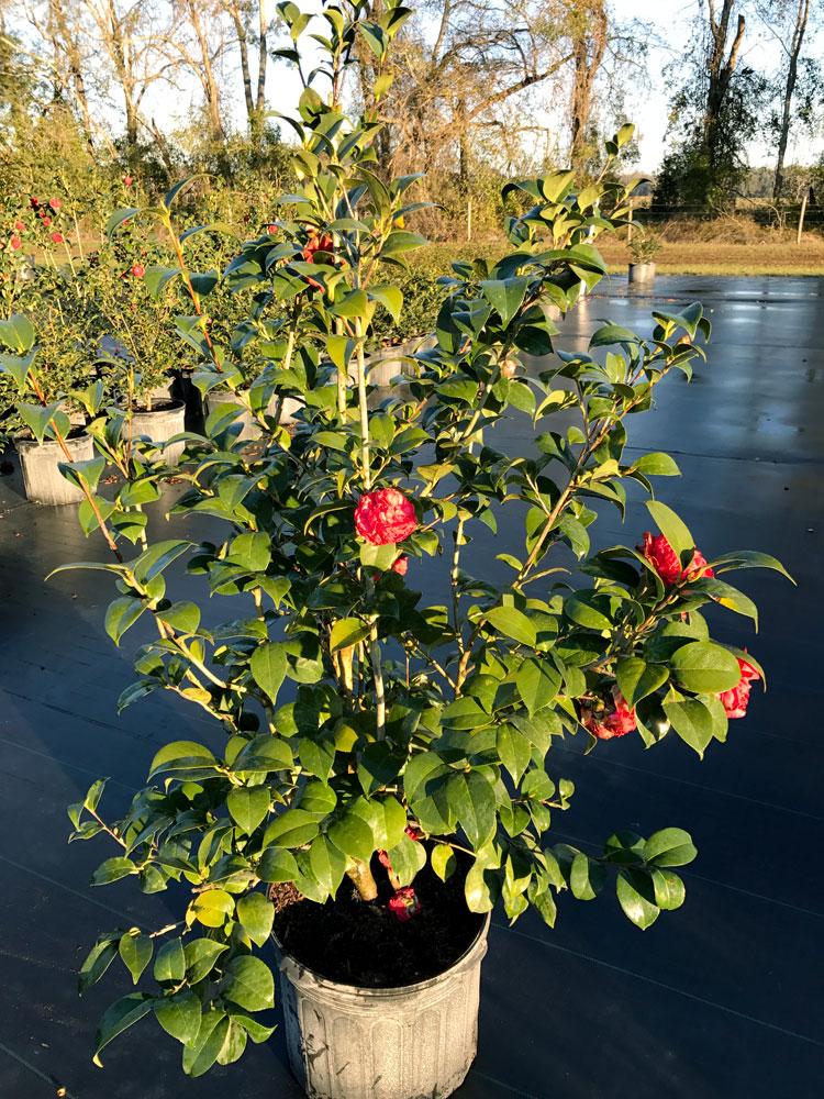 7g-camellia-professor-sargent_