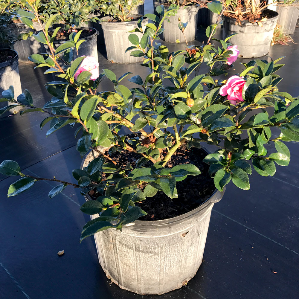 7g-camellia-shishi-gashira