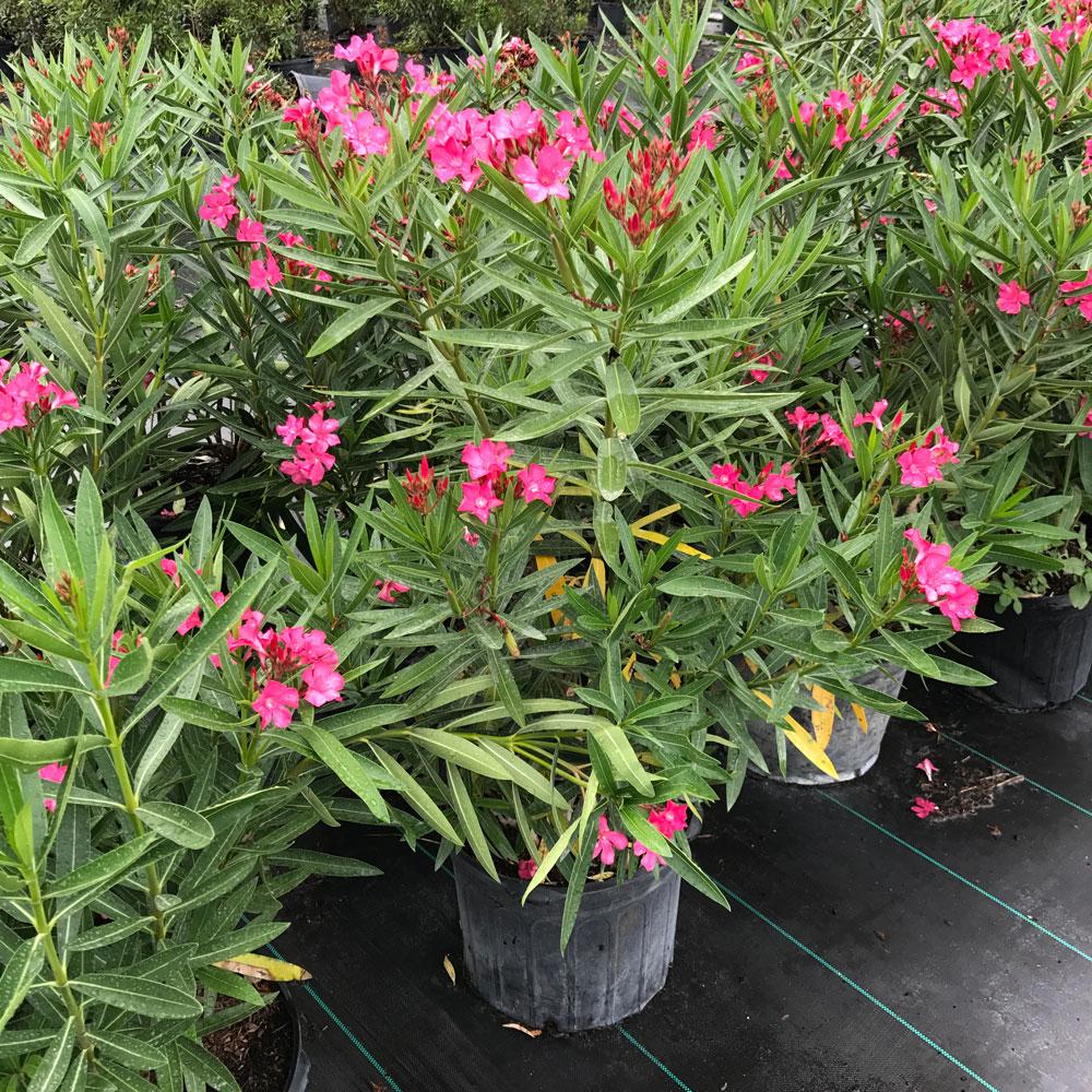 3 gal Oleander Calypso