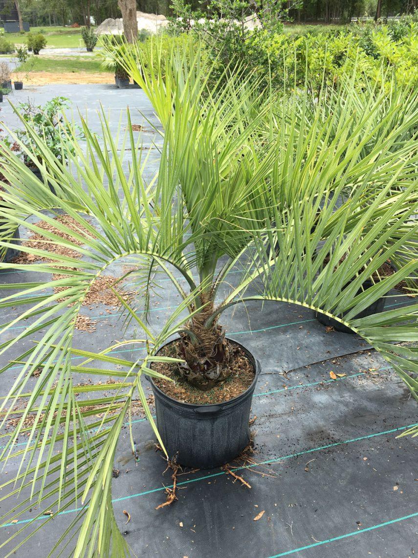 7 gal Pindo Palm