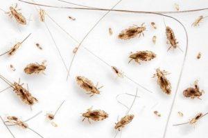 Identify-Head-Lice-Head-Hunters-Lice-Removal-Specialist1