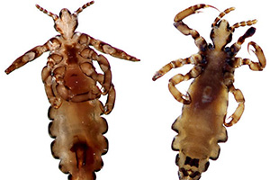 Female louse on left vs Male louse on right