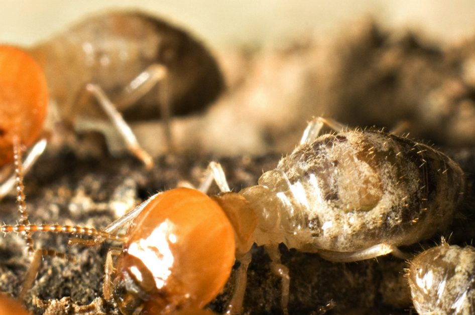 Termites Closeup
