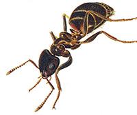 house-ant