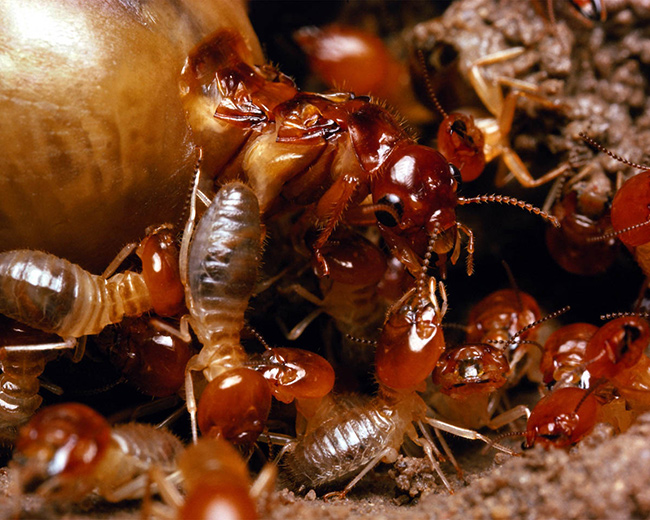 We'll exterminate termites in your home.