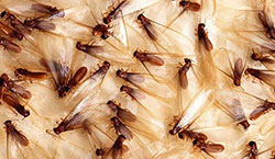 These are flying termites also known as swarmers or swarming termites.