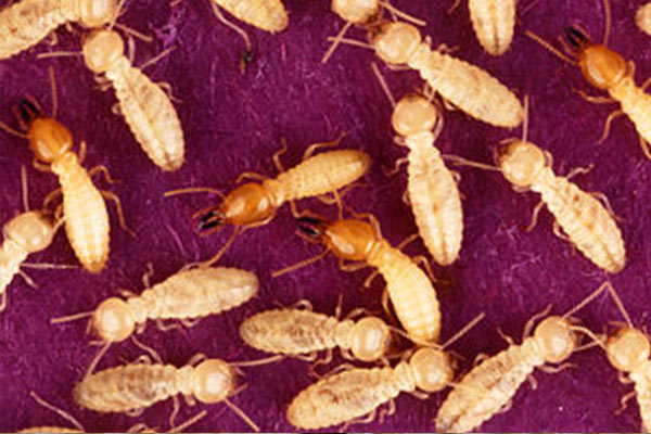 Subterranean termites can be exterminated.