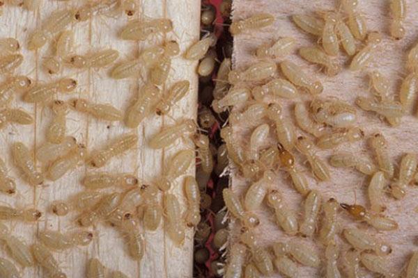 We exterminate termites.