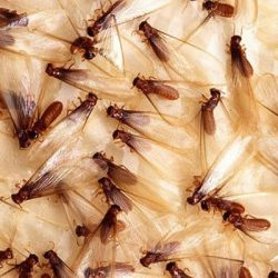 We can fumigate or use localized extermination to remove termites!
