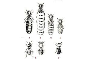 Termite Polymorphism A: Primary king B: Primary queen C: Secondary queen D: Tertiary queen E: Soldiers F: Worker